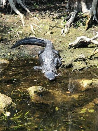 Jungle Erv's Everglades Airboat Tours 이미지