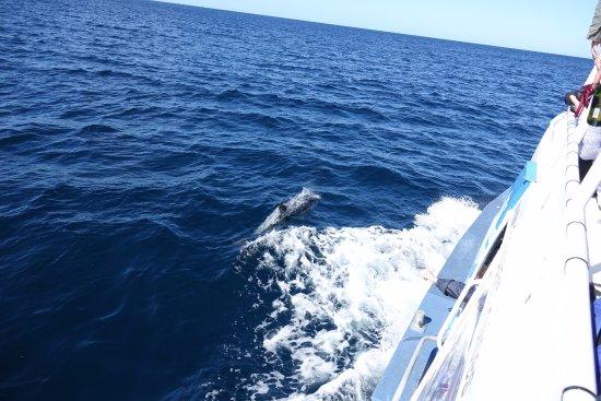 Triabunna, Australia: Dolphins kept us company