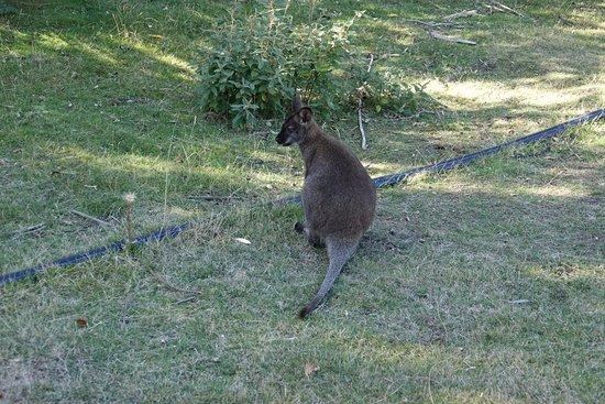 Triabunna, Australia: Lots of wildlife to see