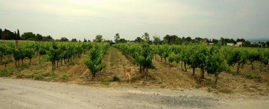 Villemoustaussou, ฝรั่งเศส: Cabernet Vineyard