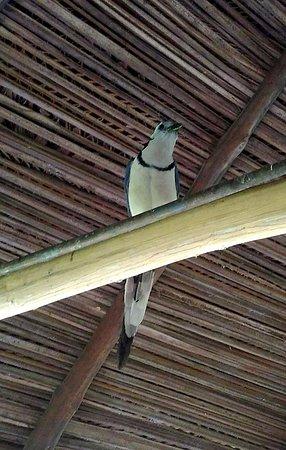 Manzanillo, Costa Rica: Magpie in Dining area