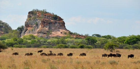 Modimolle (Nylstroom), South Africa: Bluewildebeest