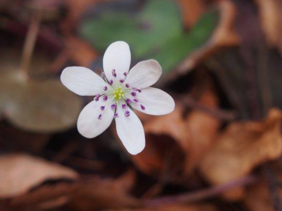 Konoka Onsen: 駐車場に咲くオオミスミソウ。一種多彩な花です。