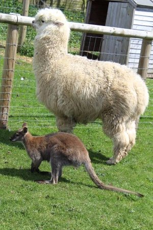 Matlock Farm Park: Alpaca & wallaby