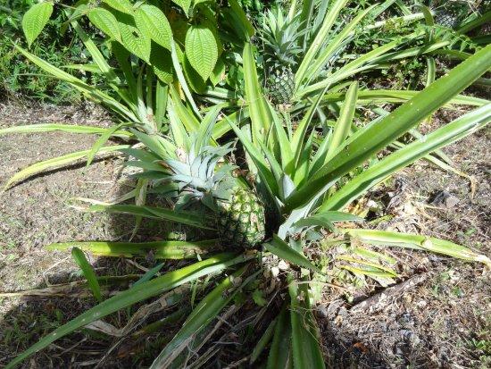 Trois-Ilets, Martinique: pied d'ananas