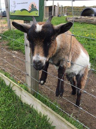 Kingswells, UK: Goats!