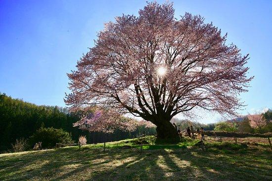 Katashina-mura, Japão: 逆光の天王桜