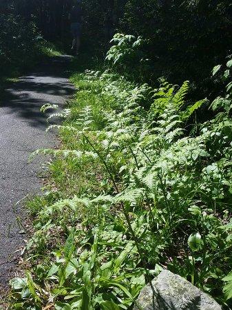 Wausau, WI: Beautiful ferns along the blue trail.