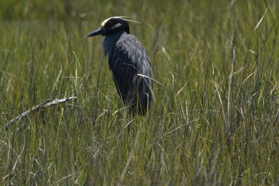 Reedville, VA: Never seen a Heron native to Tangier Marsh (Human had difficulty with light and focus)
