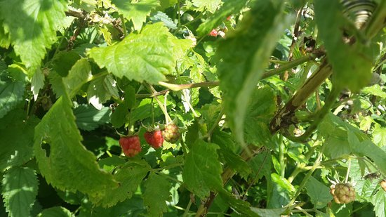 Romantik Hotel Hornberg: Wild raspberries for picking