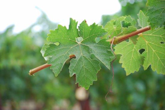 Healdsburg, Kaliforniya: Windacre Vineyard