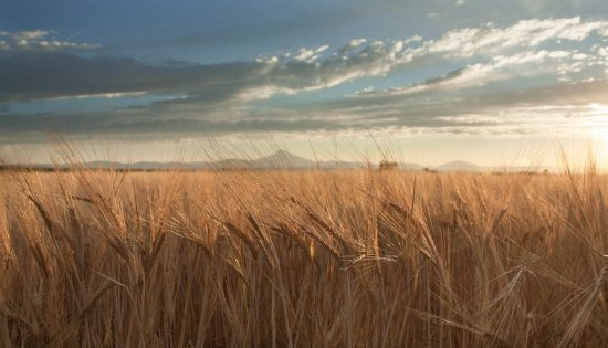 Madras, OR: Mature barley field at sunset with Cascade Mountains in background