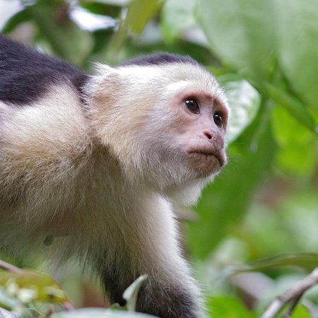 Capuchin monkey (from Riverboat Francesca)