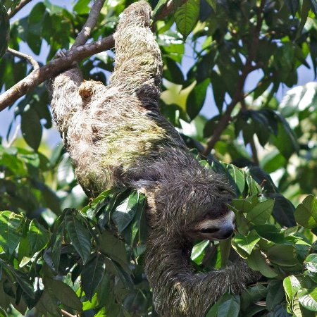 Two-toed sloth (from Riverboat Francesca)