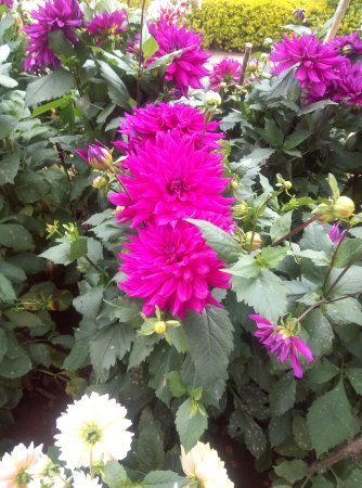 flowers in rose garden  picture of rose gardens, munnar  tripadvisor, Natural flower