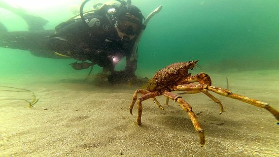 Renvyle, Ireland: Spider Crab just metres offshore from the dive centre