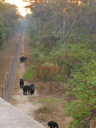 Chingola, Zambia: Chimps waiting for morning food