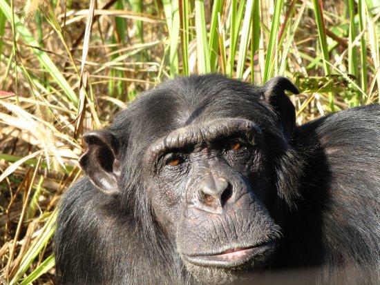 Chingola, Zâmbia: Chimp up close!