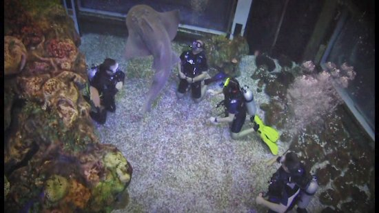 Epcot Divequest: I think that's the Bowmouth Guitarfish.