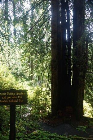 Klamath, Californien: Cathedral Tree