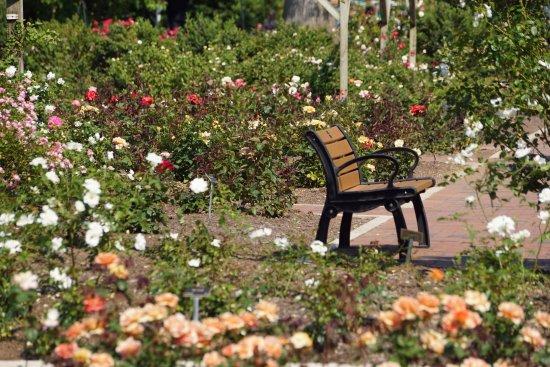 Сомерсет, Нью-Джерси: Lots of roses