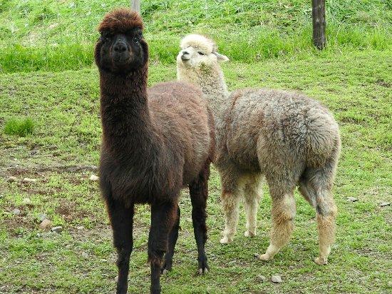 Viva Alpaca Farm