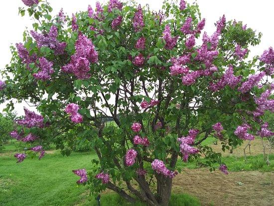 Lilac no Mori