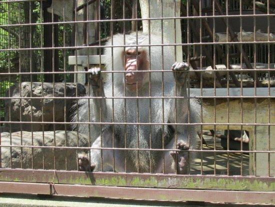 Ehime Tobe Zoo: 人間を見つめるヒヒ