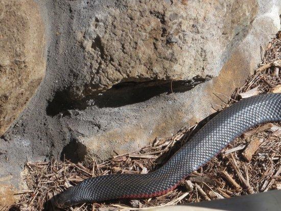 Maleny, Australia: Red belly black snake