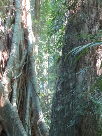 Maleny, Australia: Huge trees in rainforest