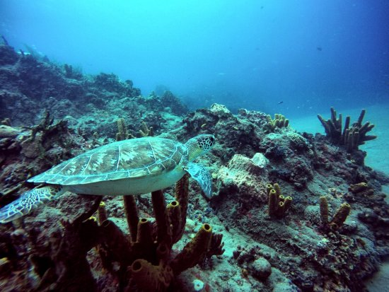 Sint-Eustatius: TONS of turtles in Statia!