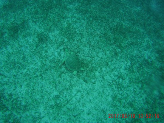 Oyster Pond, St Martin / St Maarten: Super chill juvenile green sea turtle