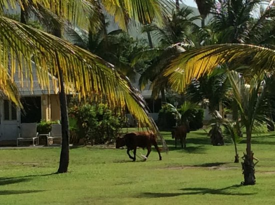 Newcastle, Nevis: ...baby cattle sneak through the boundary to graze...until they are quickly rounded up ! Sweet.