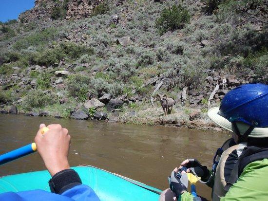 El Prado, New Mexiko: Big Horn Ram