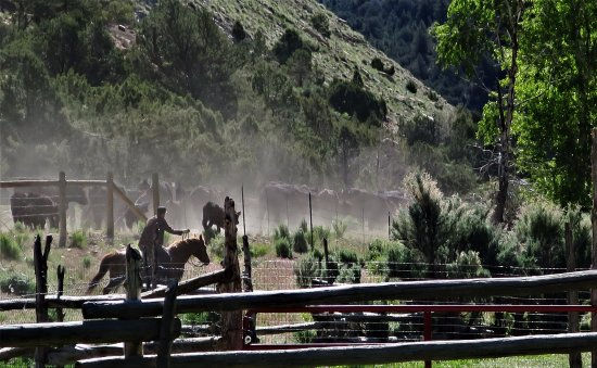 Wellington, Юта: Cattle drive leaving the ranch, heading up into the Canyon.