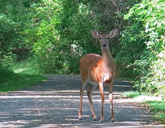 Allegany, NY: A female white-tailed deer greeted us on our walk on the Allegheny River Valley Trail!