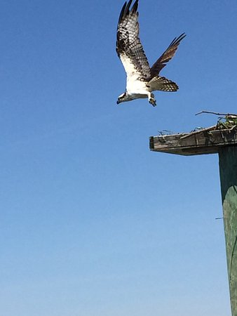 Rock Hall, MD: One of many Osprey you'll see