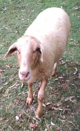 Coochiemudlo Island, Australië: Marshmallow, he is a sheep not a goat!