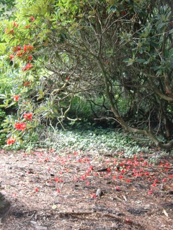Rozelle Park: Rhodedendrons are out