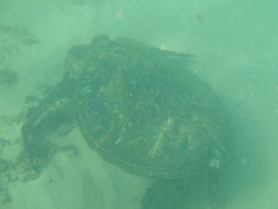 Napili Beach : turtle central