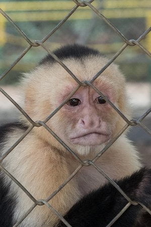 Canas, Kosta Rika: White faced monkey