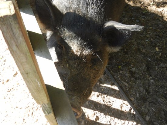 Collins, MS: Wilber the pig