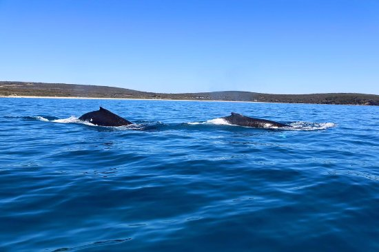 Dunsborough, Australia: Humpback mother and calf relaxing in the calm waters of Geographe Bay