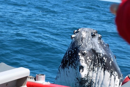 Dunsborough, Australia: Inquisitive Humpback whales often like to check out our awesome red jet boat!
