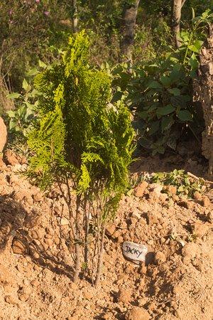 Nagarkot Buddha Peace Park Hiking Trail: Tree plantation