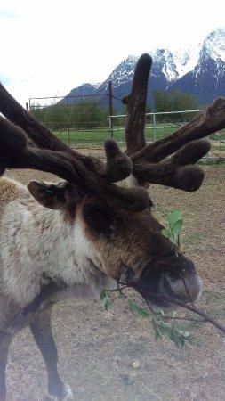 Reindeer Farm: Red Bull has an appetite.