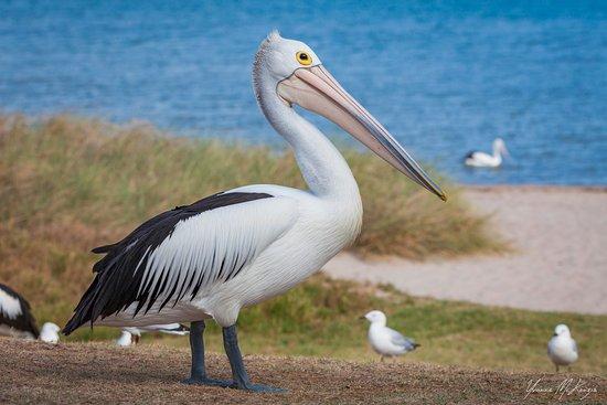 stunning australian pelican picture of kalbarri pelican feeding