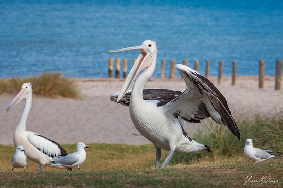 Kalbarri Pelican Feeding