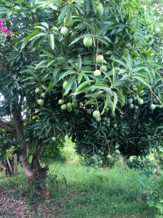 Namugongo, Oeganda: Fresh mangos from our tree to accompany a meal or for a quick snack!