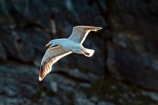 Woody Point, Canada: Gull as seen from the boat
